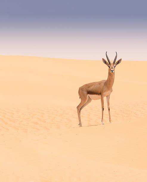 Arabian gazelle, Dubai Desert Conservation Reserve, UAE – Foto