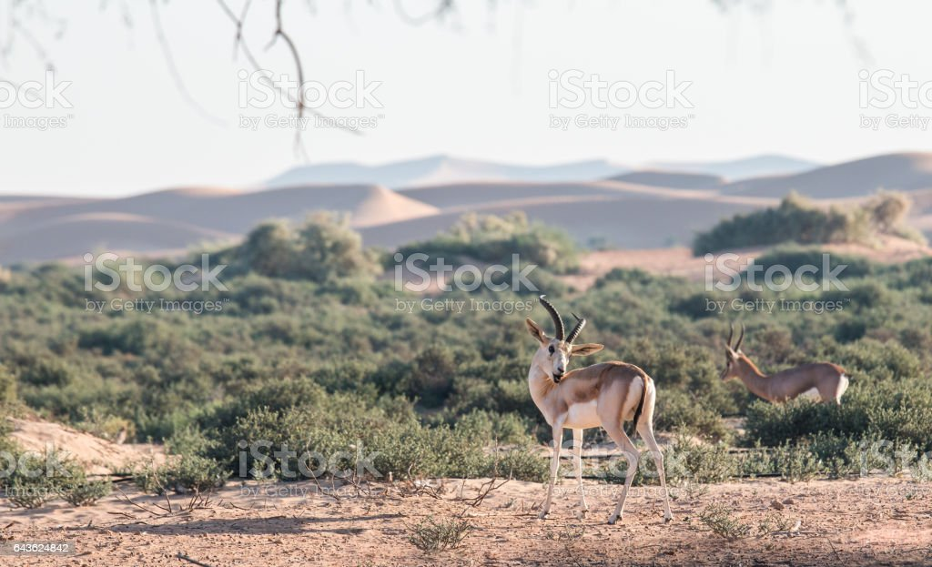 Arabian gazelle in the desert of Dubai, UAE. stock photo