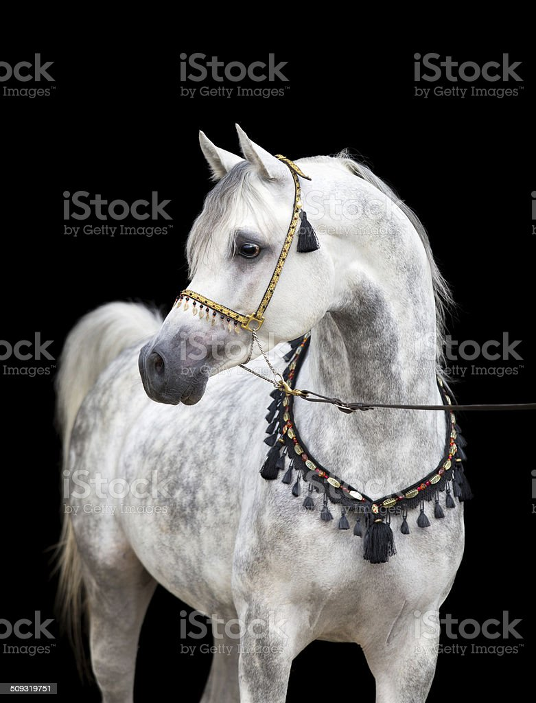 Arabian gray horse on black background stock photo