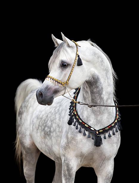 Arabian gray horse on black background http://s019.radikal.ru/i632/1204/80/47648ec3cdf5.jpg arabian horse stock pictures, royalty-free photos & images