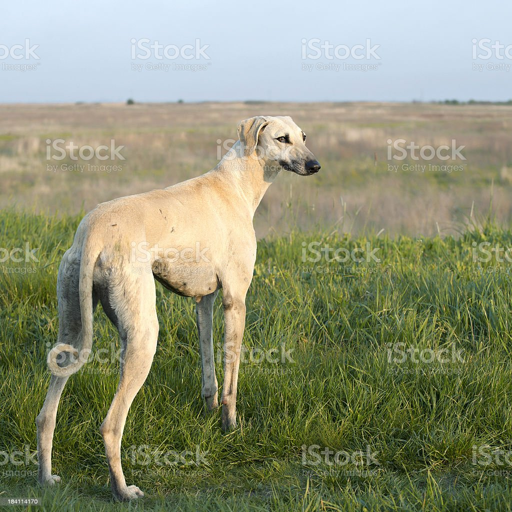 Arabian Greyhound (Sloughi) stock photo