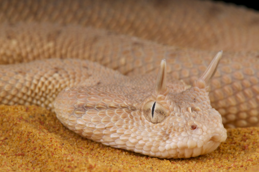 The Arabian horned viper is a cryptic, sidewinding viper species endemic to the Arab peninsula.