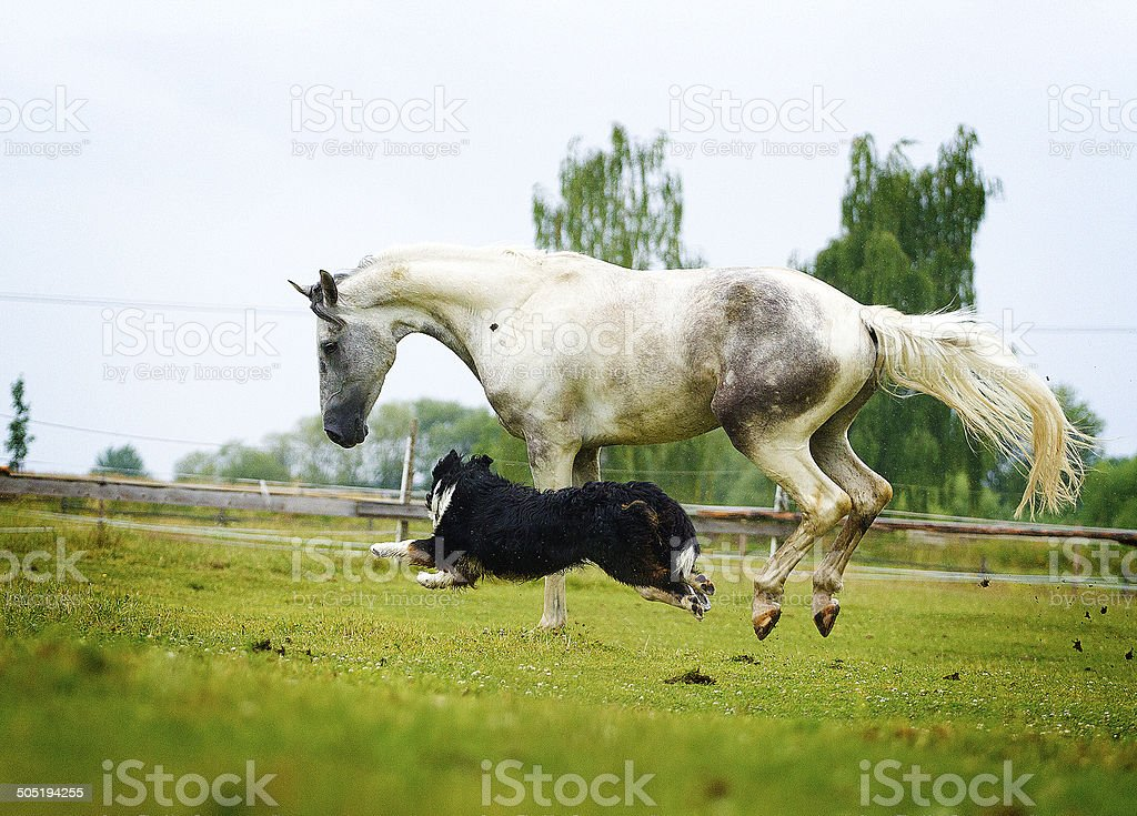 arabian horse and Berner Shennenhund dog stock photo