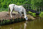 Arabian horse at the watering