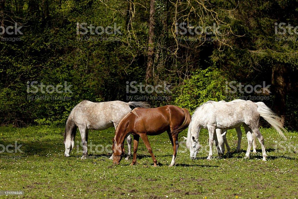 arabian horse drove royalty-free stock photo