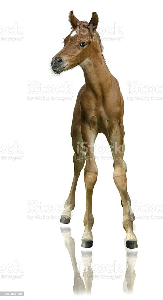 Arabian horse - foal very proud isolated on white stock photo