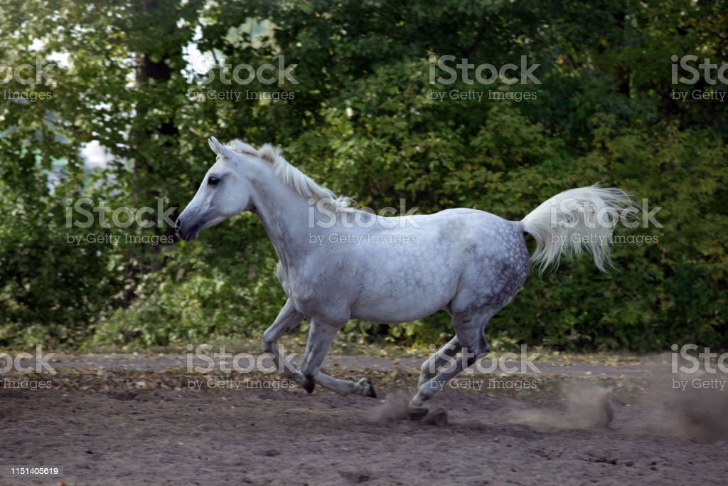 Arabian Horse Galloping On Paddock Stock Photo Download Image Now Istock