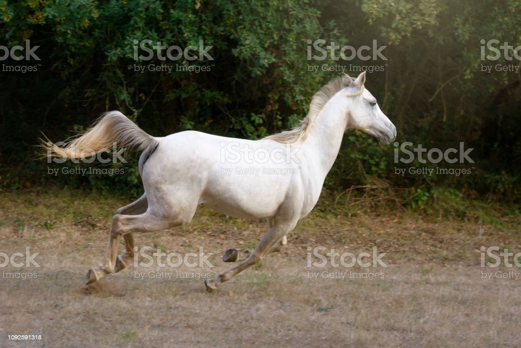 Arabian Horse Galloping Stock Photo Download Image Now Istock