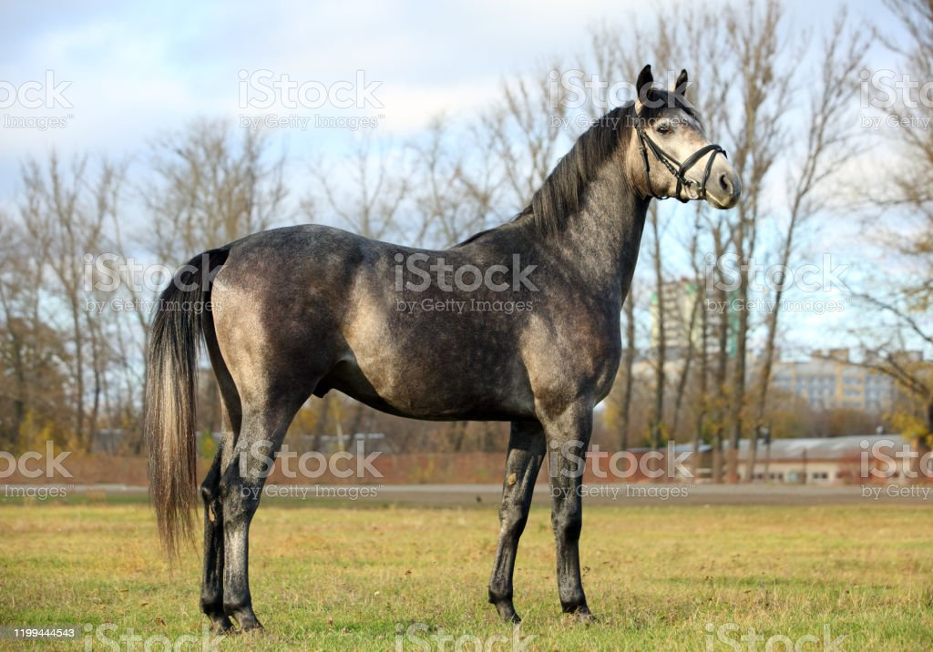 Arabian Horse Gray Stallion In Autumn Paddock Stock Photo Download Image Now Istock