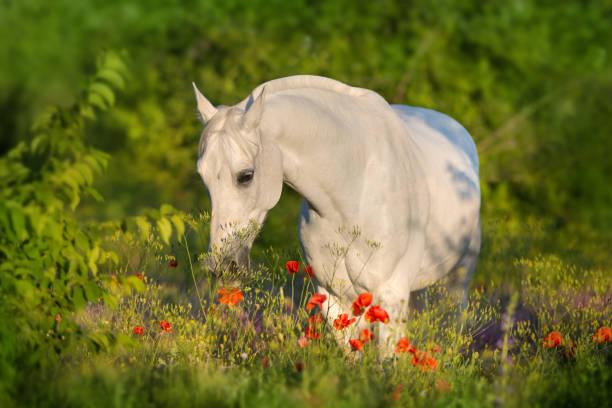 Arabian horse in flowers picture id1034303214?b=1&k=6&m=1034303214&s=612x612&w=0&h=idfkhas1 vikotvch7hxh77107 woh0dflysh4dgc70=