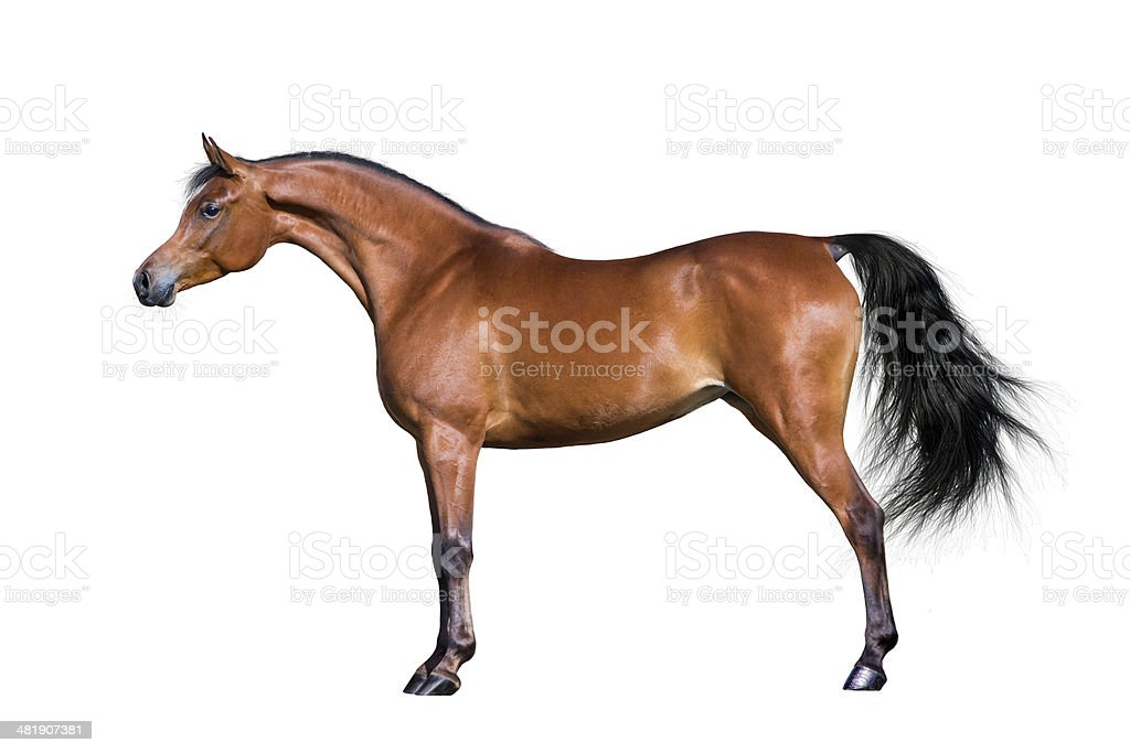Arabian horse isolated on white stock photo
