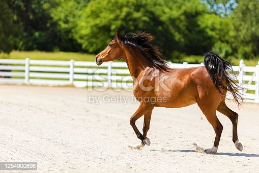 Arabian Horse on Ranch Arena Facility in Mid West USA Photo Series with Matching Video (Shot with Canon 5DS 50.6mp photos professionally retouched - Lightroom / Photoshop - original size 5792 x 8688 downsampled as needed for clarity and select focus used for dramatic effect)