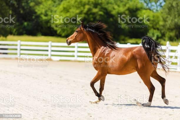 Photo of Arabian Horse on Ranch Photo Series