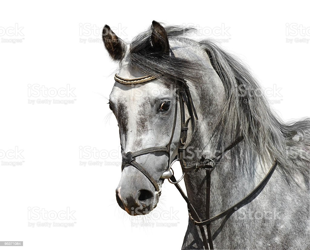 Arabian horse royalty-free stock photo