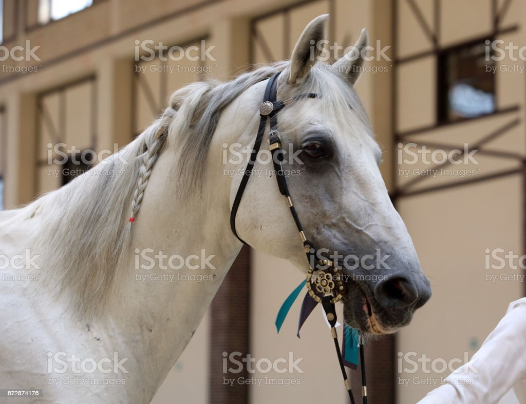 Arabian Horse Portrait Of Gray Stallion In A Stable Stock Photo Download Image Now Istock