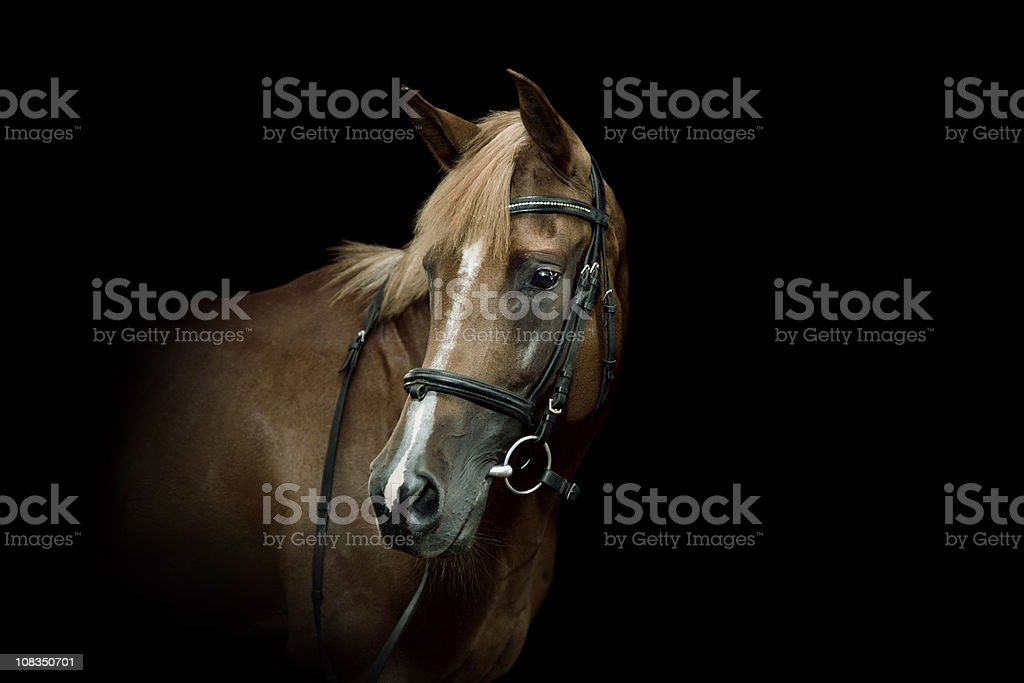 Arabian Horse Portrait stock photo