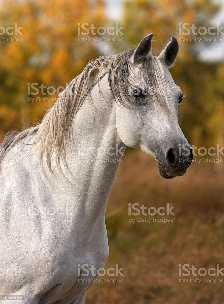 Arabian Horse Portrait Stock Photo Download Image Now Istock