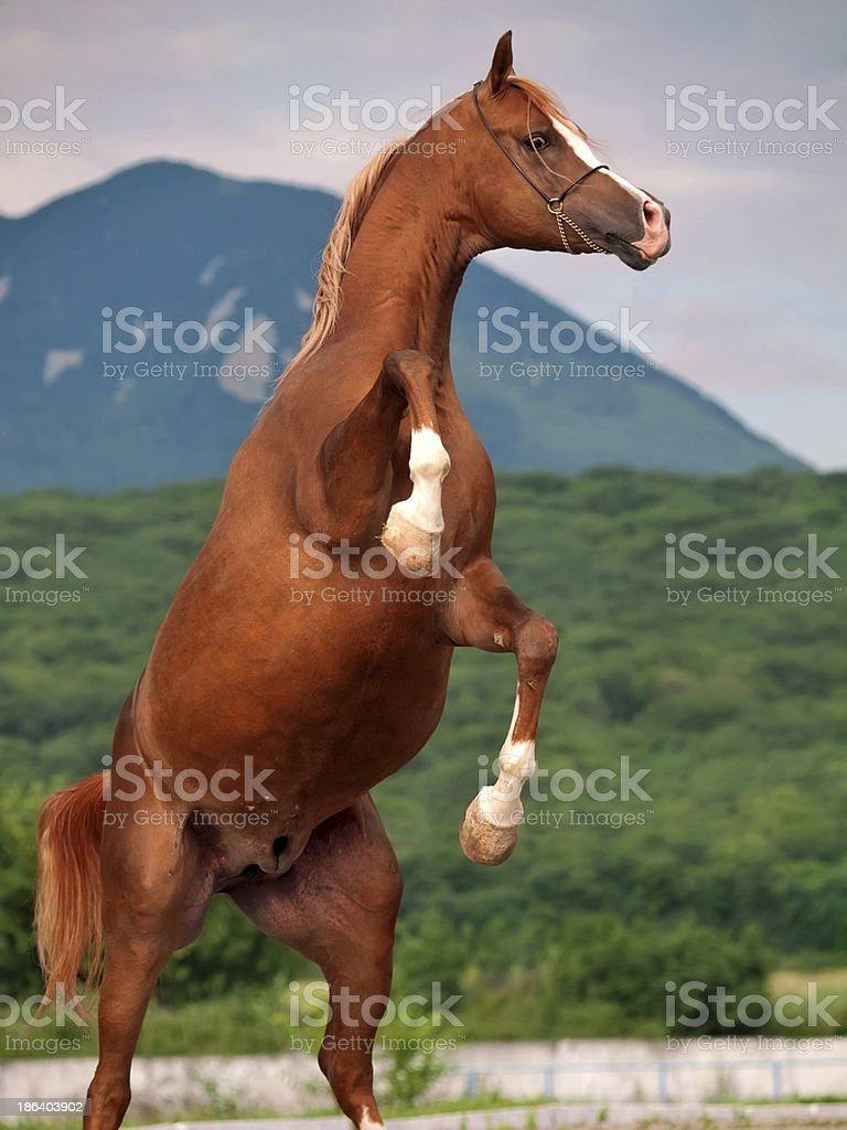 Arabian Horse Rearing Close Up Stock Photo Download Image Now Istock
