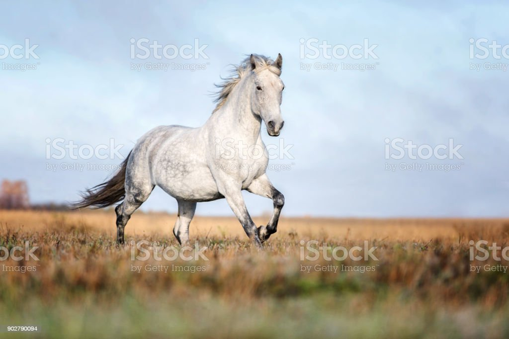 Arabian horse running free on an autumn background. stock photo