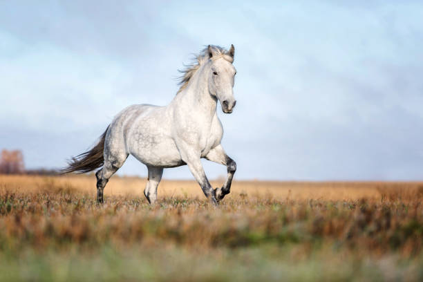 Arabian horse running free on an autumn background. Running arabian horse arabian horse stock pictures, royalty-free photos & images