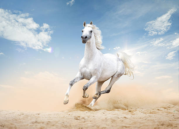 Royalty free arabian horse pictures images and stock photos istock - Arabian horse pics ...