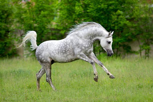 Arabian horse runs gallop on green background http://s019.radikal.ru/i600/1204/bb/5d41035f432c.jpg arabian horse stock pictures, royalty-free photos & images