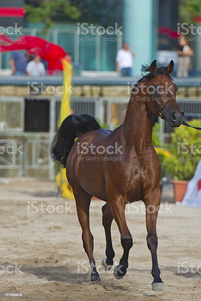 Arabian horse show in Salerno stock photo