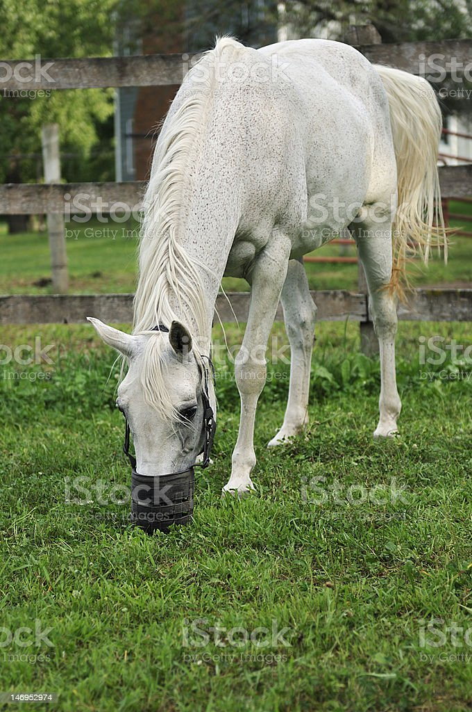 Arabian Horse with Grazing Muzzle stock photo