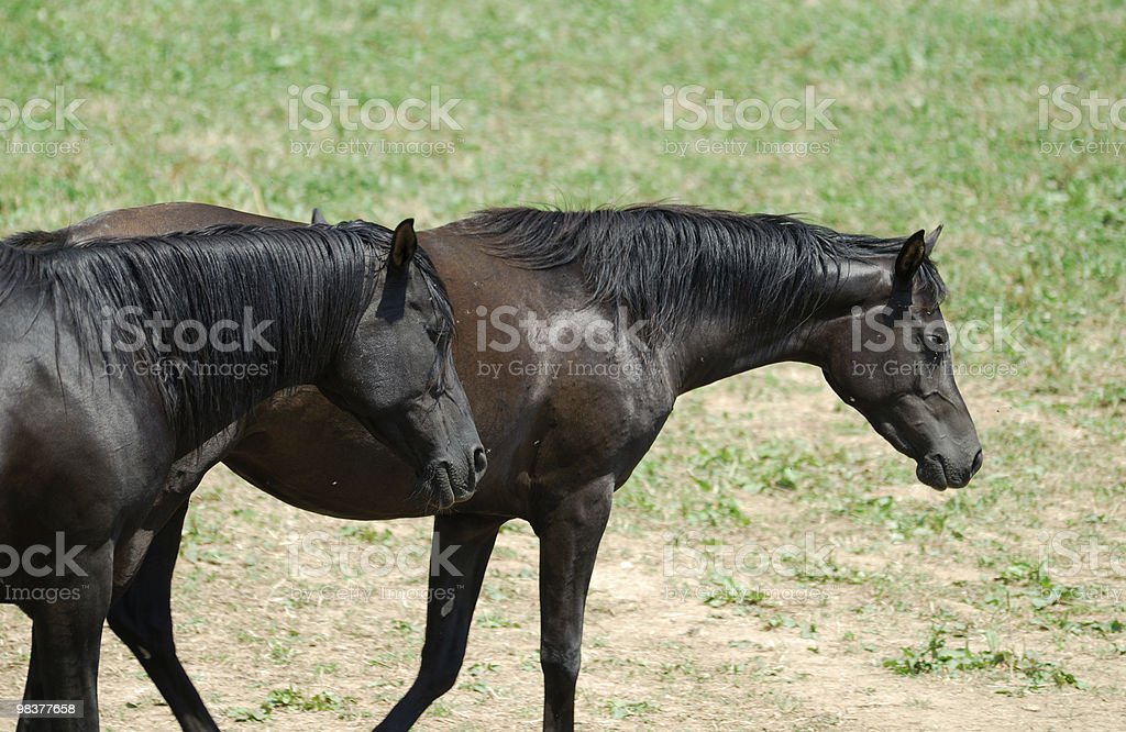 Arabian horses at pasture in Catalonia (Spain) royalty-free stock photo