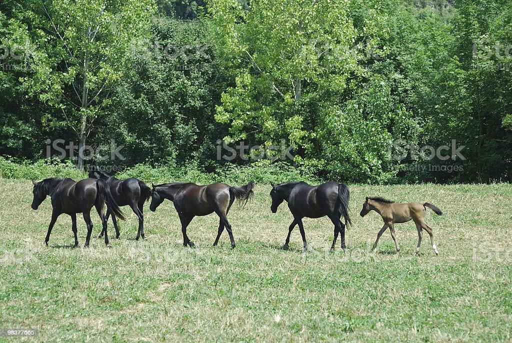 Arabian horses at pasture in Catalonia (Spain) royalty-free stock photo