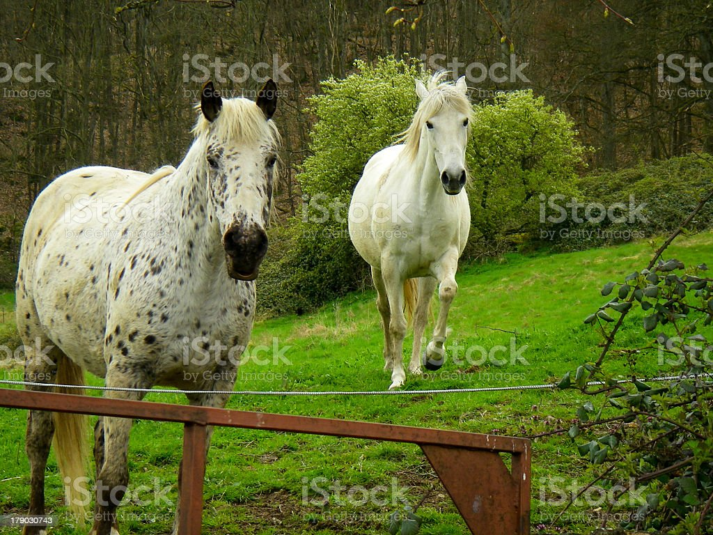Arabian Horses Country Estate Autun Saone et Loire Burgundy France stock photo