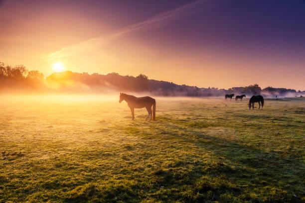 Arabian horses grazing on pasture at sundown in orange sunny beams.
