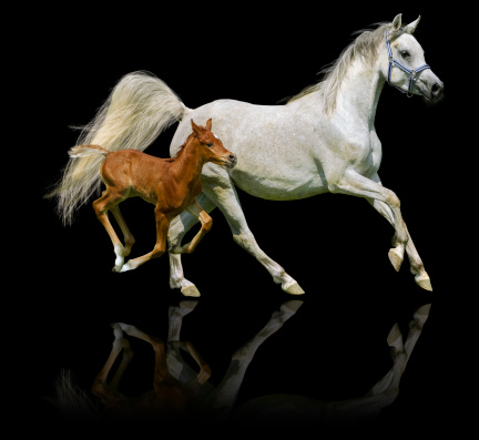 Arabian horses mare and foal in gallop isolated on black