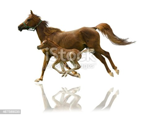 istock Arabian horses mare and foal in gallop isolated on white 467589035