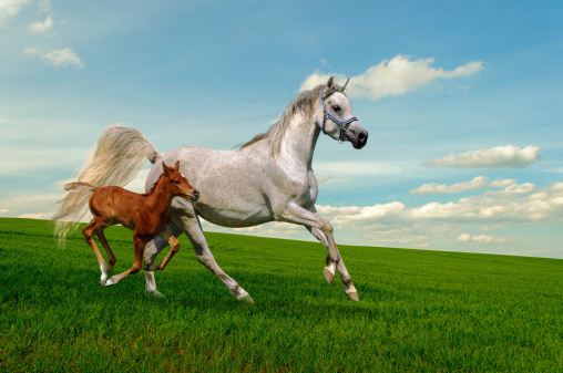 Arabian horses mare and foal in gallop