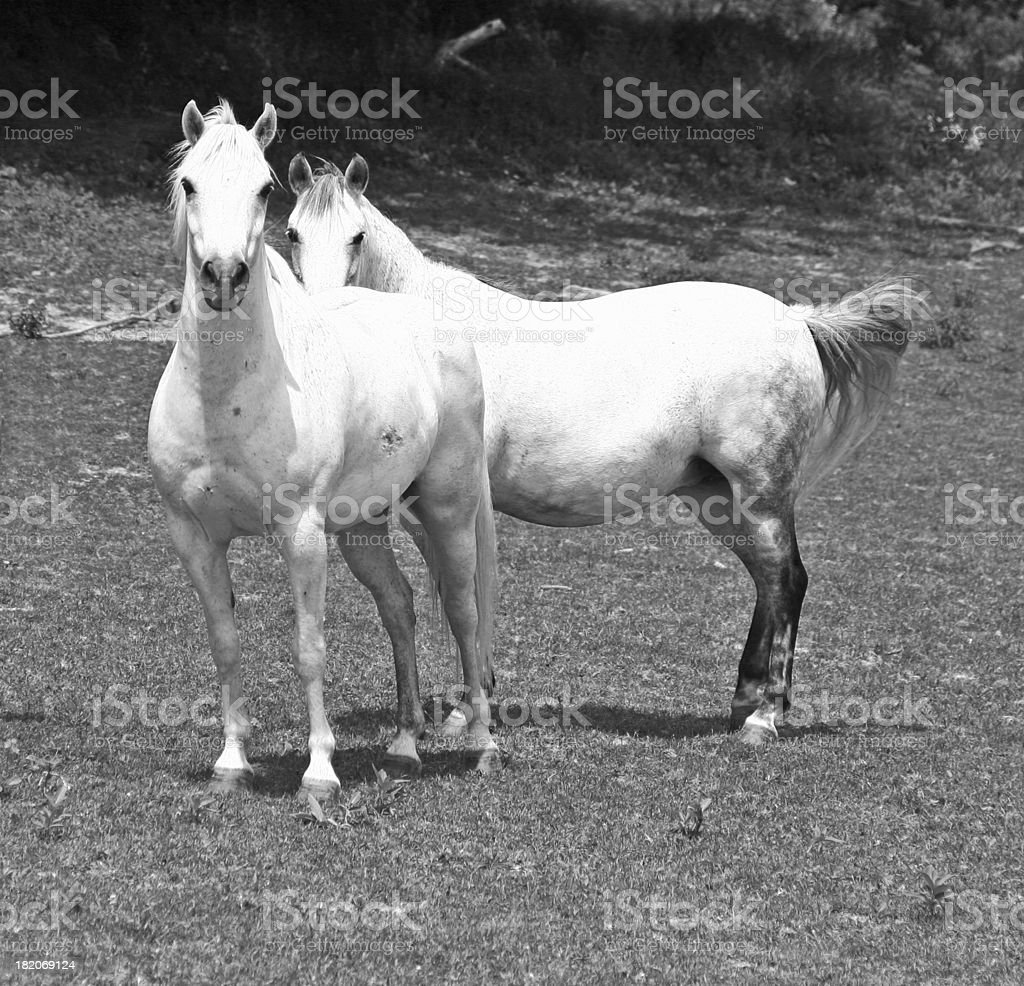 Arabian Horses royalty-free stock photo