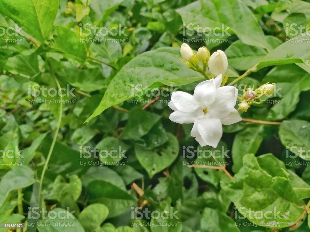 Arabian Jasmine Flower In The Garden Stock Photo More Pictures Of