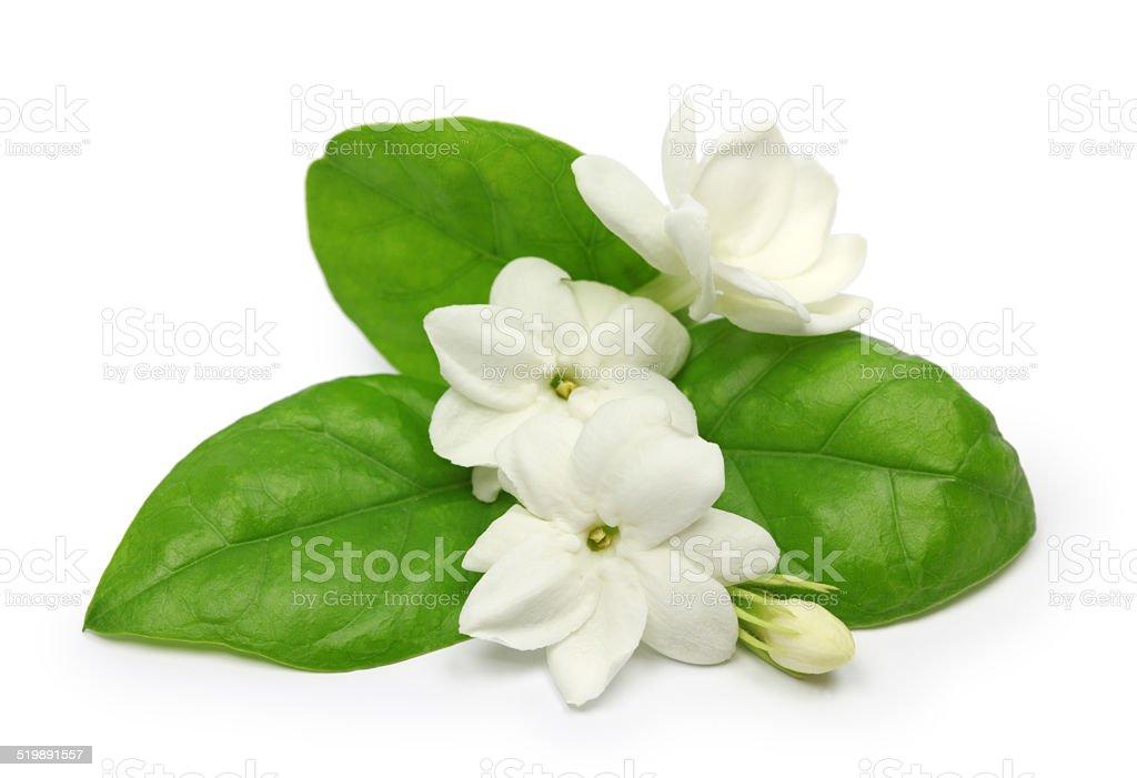 arabian jasmine,  jasmine tea flower stock photo