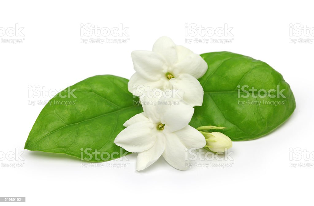 arabian jasmine,  jasmine tea flower stock photo