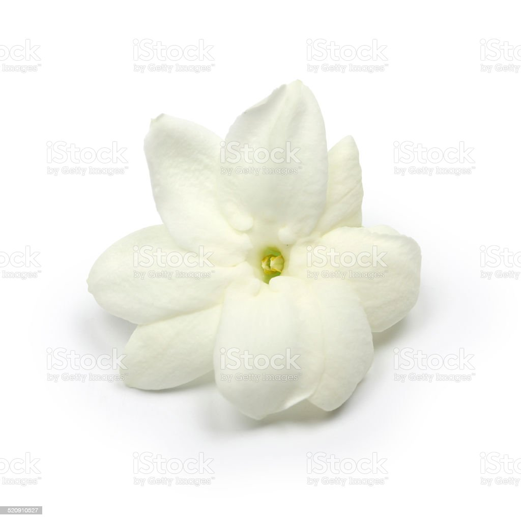 Arabian Jasmine Jasmine Tea Flower Stock Photo More Pictures Of