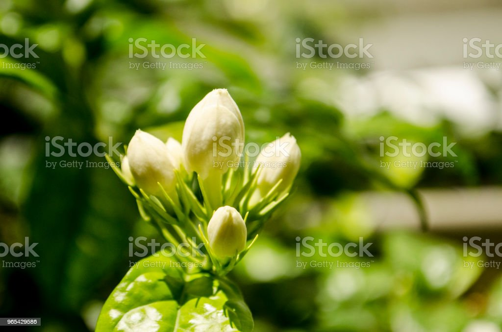 Arabian jasmine, jasmine tea flower royalty-free stock photo