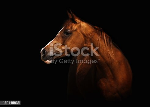 Profile portrait of a splendid purebred Arabian mare. The brown horse stands in front of a black background, lots of capyspace.
