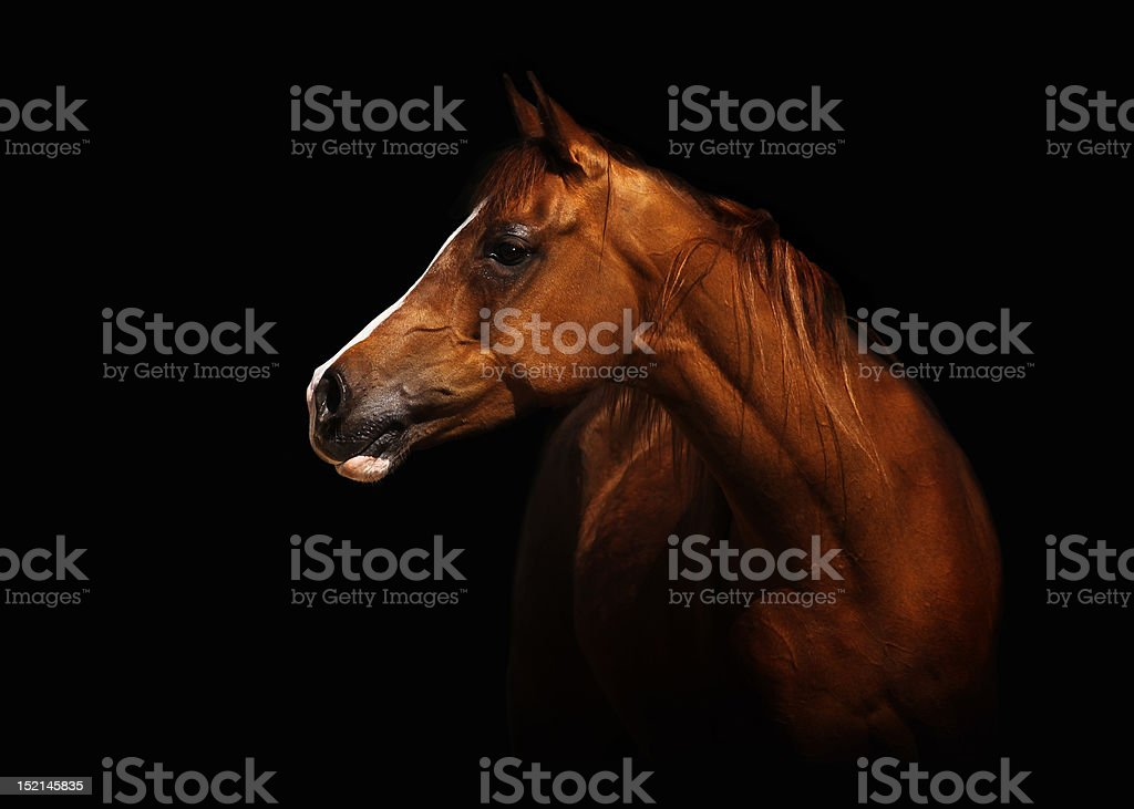 Arabian mare stock photo