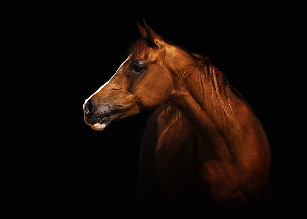 Arabian mare Profile portrait of a splendid purebred Arabian mare. The brown horse stands in front of a black background, lots of capyspace. arabian horse stock pictures, royalty-free photos & images