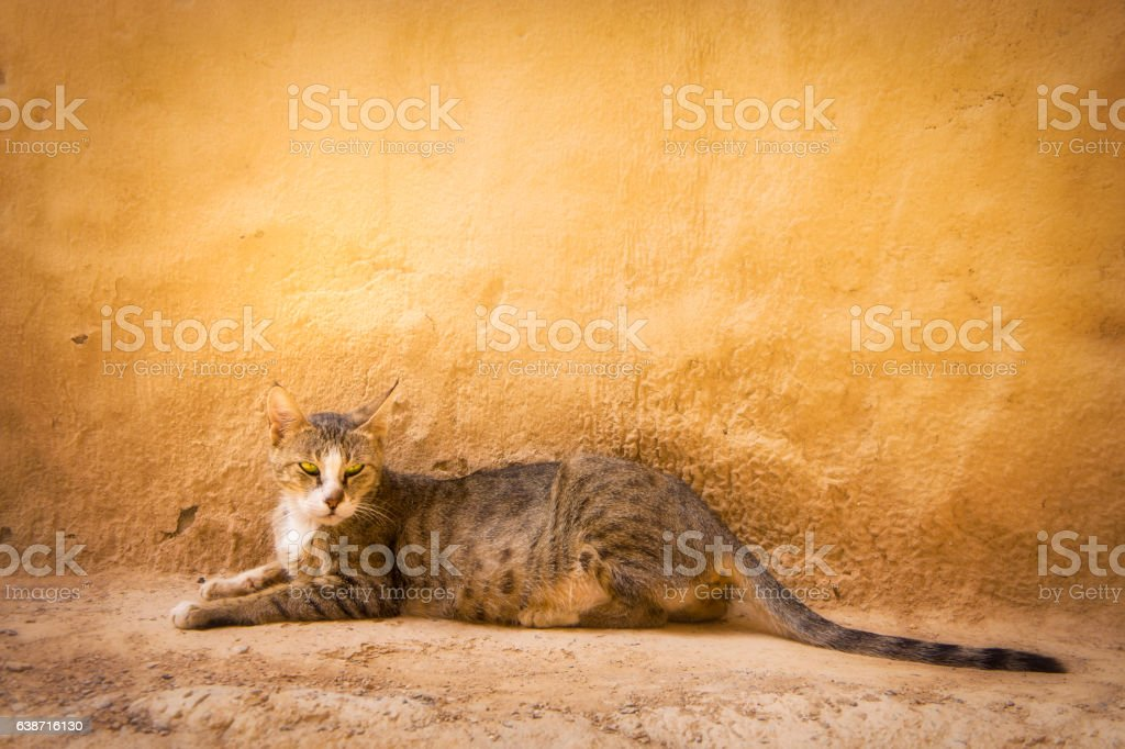 Arabian Mau breed street cat – Foto