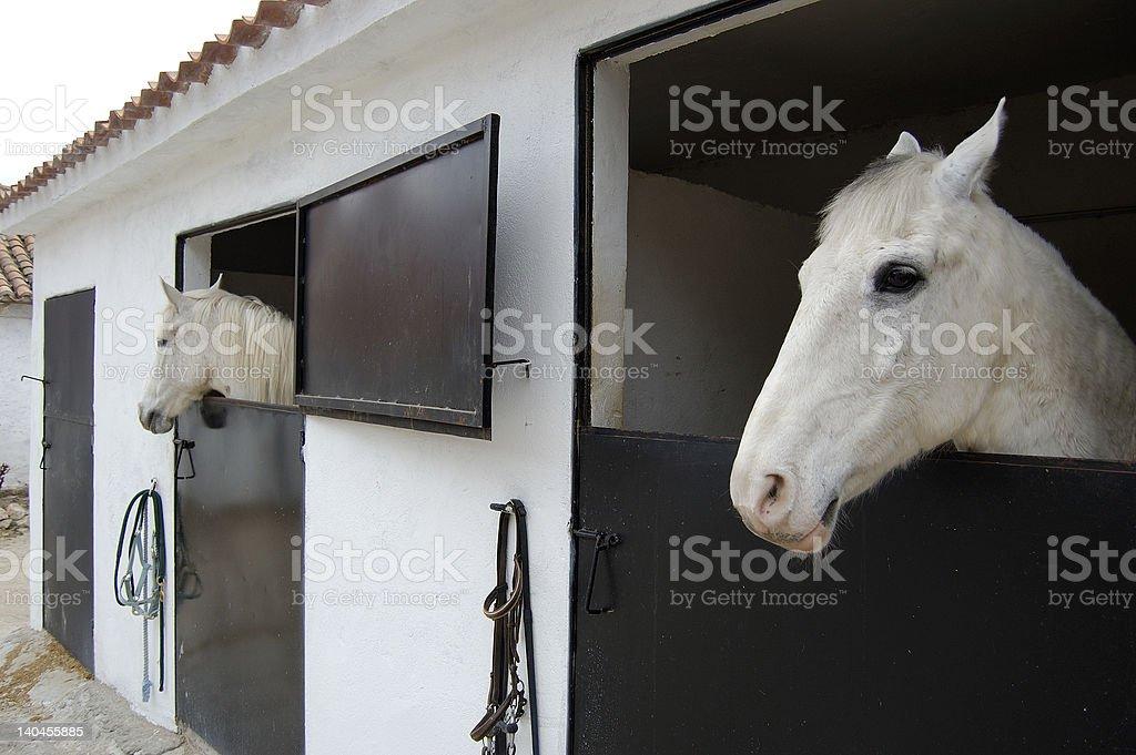 Arabian Mustang stock photo