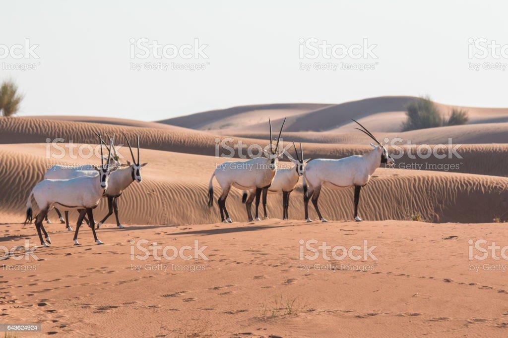Arabian oryx (Oryx leucoryx) in the desert after sunrise. stock photo