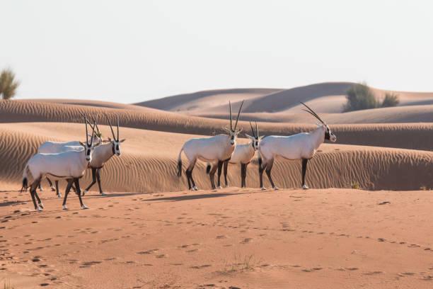 oryx d'arabie (oryx leucoryx) dans le désert après le lever du soleil. - réserve naturelle photos et images de collection