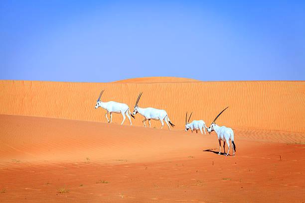 oryx d'arabie - réserve naturelle photos et images de collection