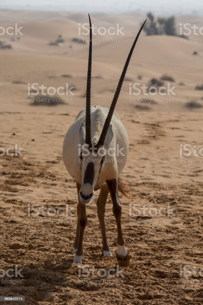 Arabian Oryx standing in Al-Maha desert, in Dubai, and charging the tourists vehicle. - Royalty-free Animal Stock Photo